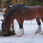 Shire Horse Stute mit ihrem Fohlen